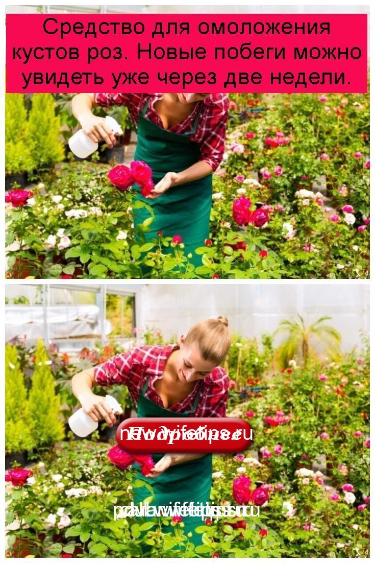 Средство для омоложения кустов роз. Новые побеги можно увидеть уже через две недели 4