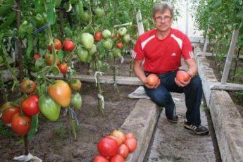 Выращивание помидор по Маслову. Урожай увеличивается в 8 раз 1