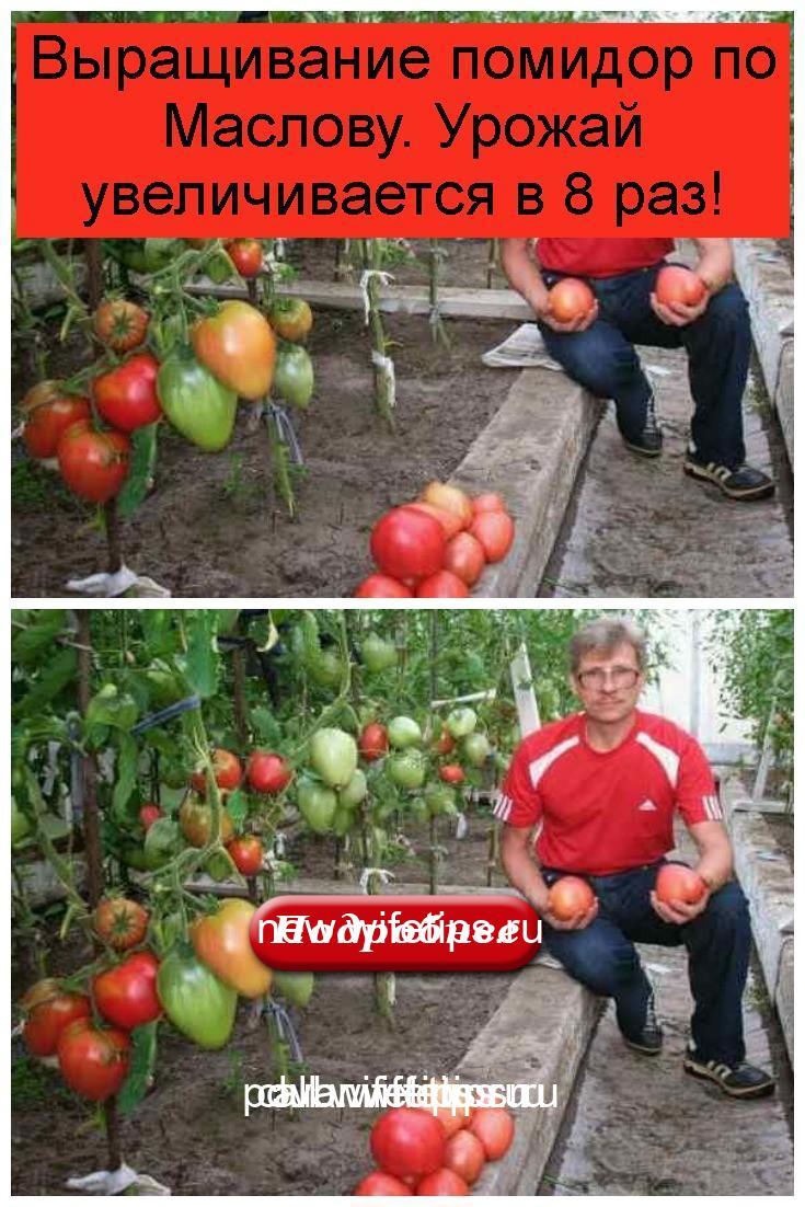 Выращивание помидор по Маслову. Урожай увеличивается в 8 раз 4